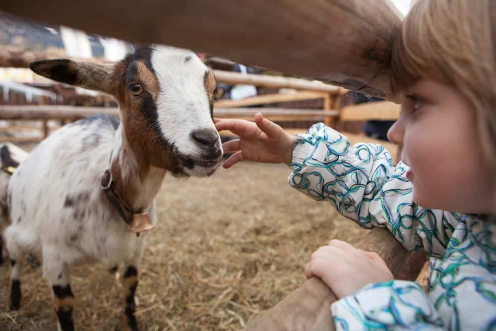 Young child petting a goat at the Zoo
