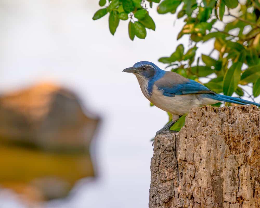 California Scrub Jays can be found in Trione-Annadel State Park